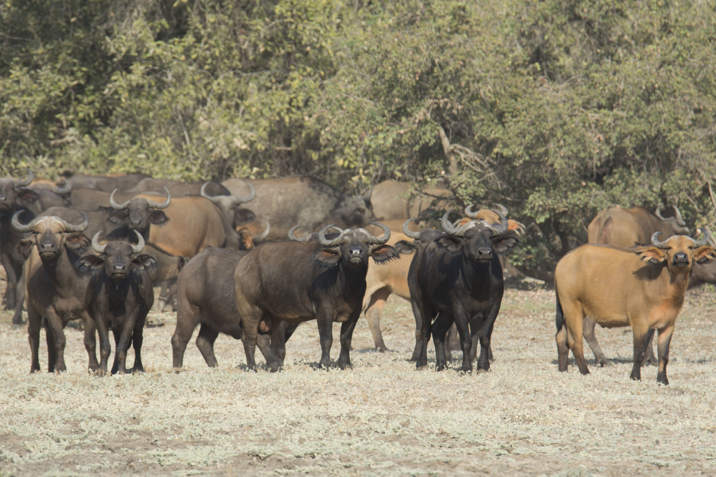 Buffalo,at Zakouma Park. Photography by Karoline Hood.