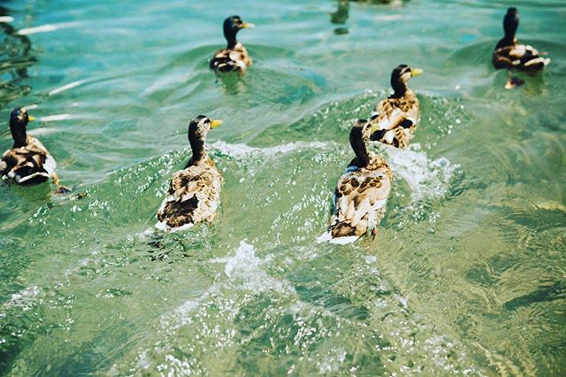 Be like a duck. 🦆 Above the surface, look calm and unruffled. Below the surface, paddle like hell. #duck #natgeo #nationalgeographic #greensummer #nature #brucepeninsula #ontario #canada 🇨🇦 Sent via @planoly #planoly