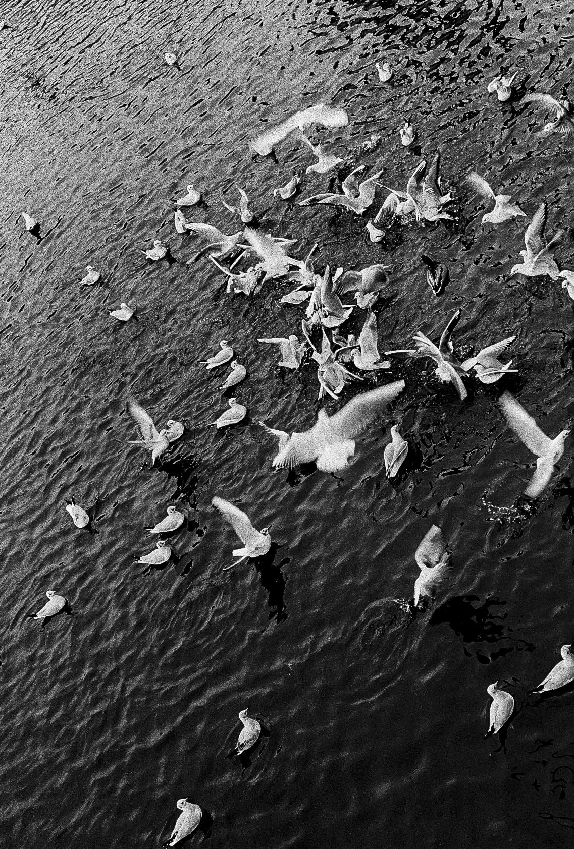 Seagulls in the Vltava by the Karlovy Lázně stop.