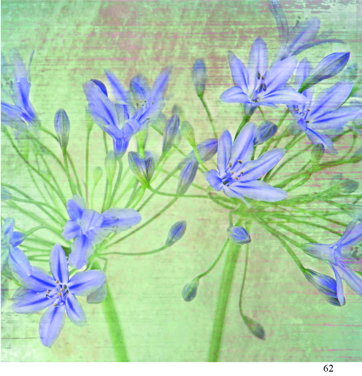 62 agapanthus Alison Parsons Smith arty cards 6x6.jpg