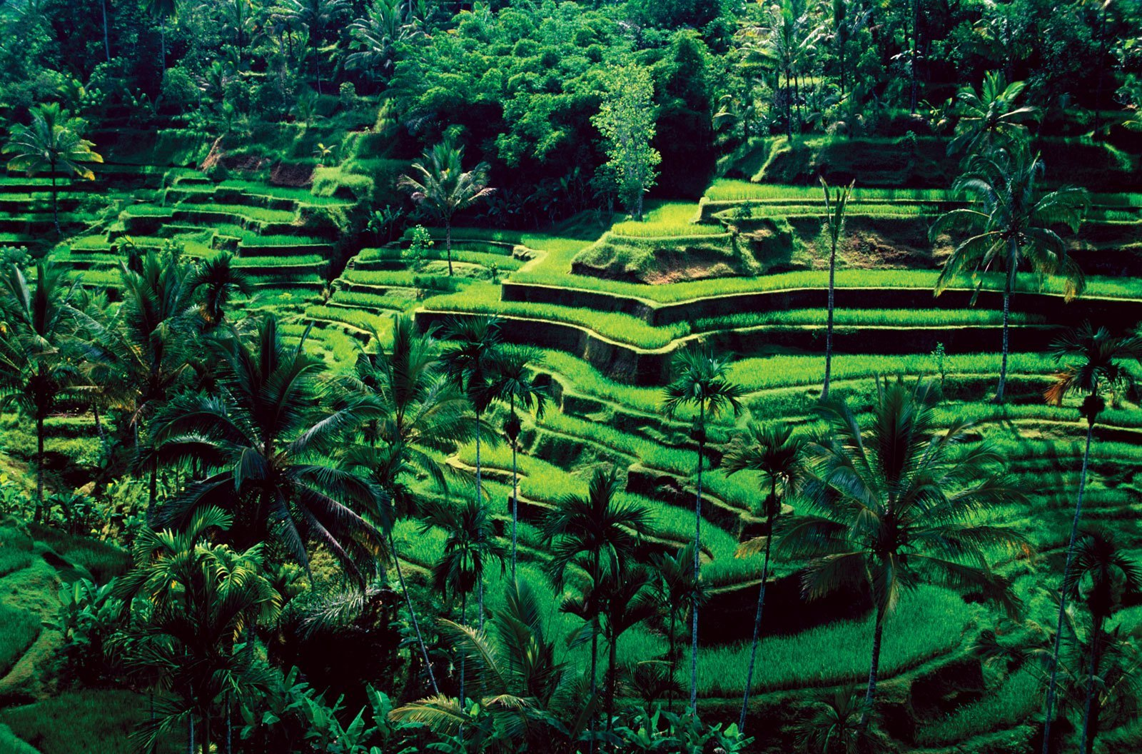 Bali-Ubud-rice-fields1.jpg