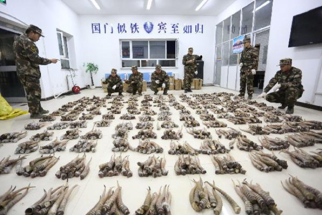 Despite enforcement initiatives, siaga horn trafficking continues unabated, resulting in seizures on a staggering scale.