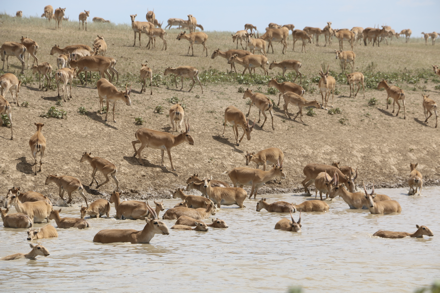 The saiga's habitat used to stretch across the Eurasian continent, but now consists of a few small pockets in Central Asia.