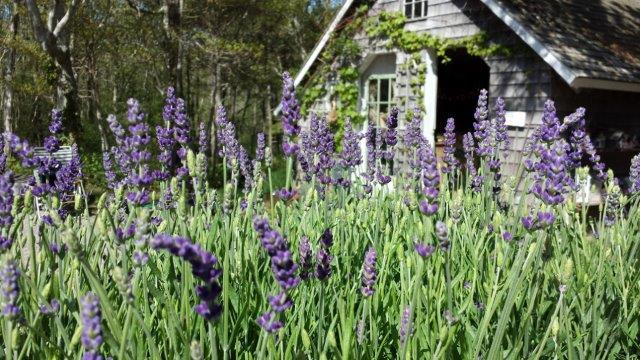 shed-lavender.jpg