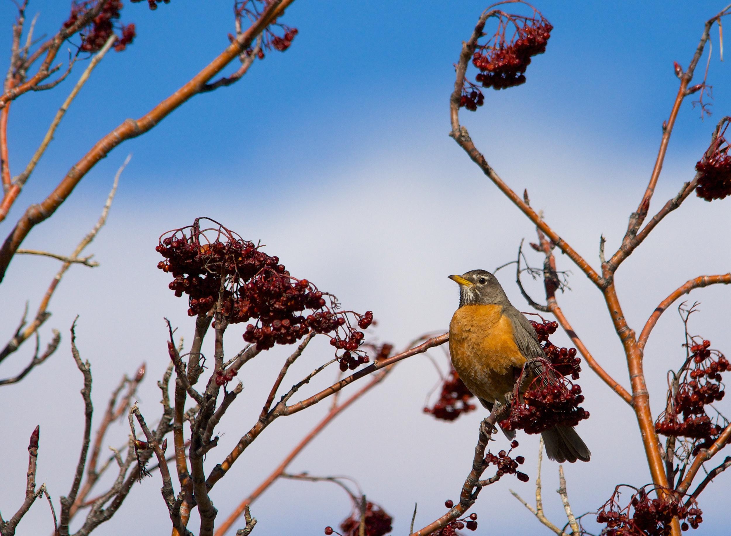 Perched Robin.jpg