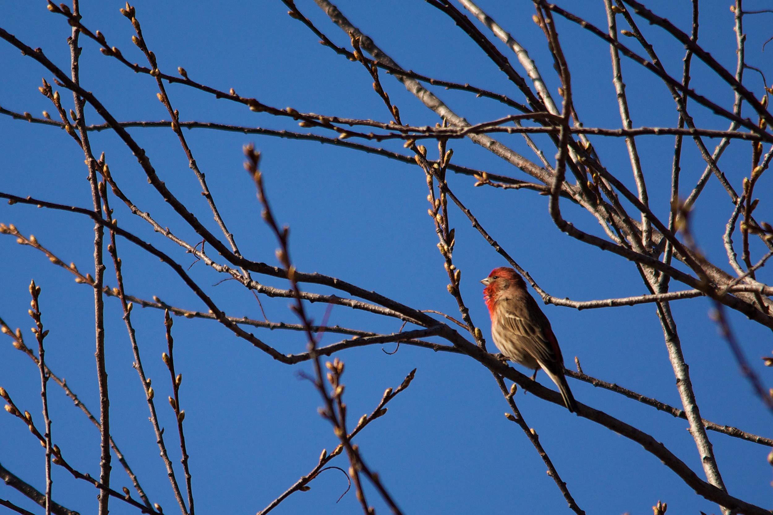 Male House Finch.jpg