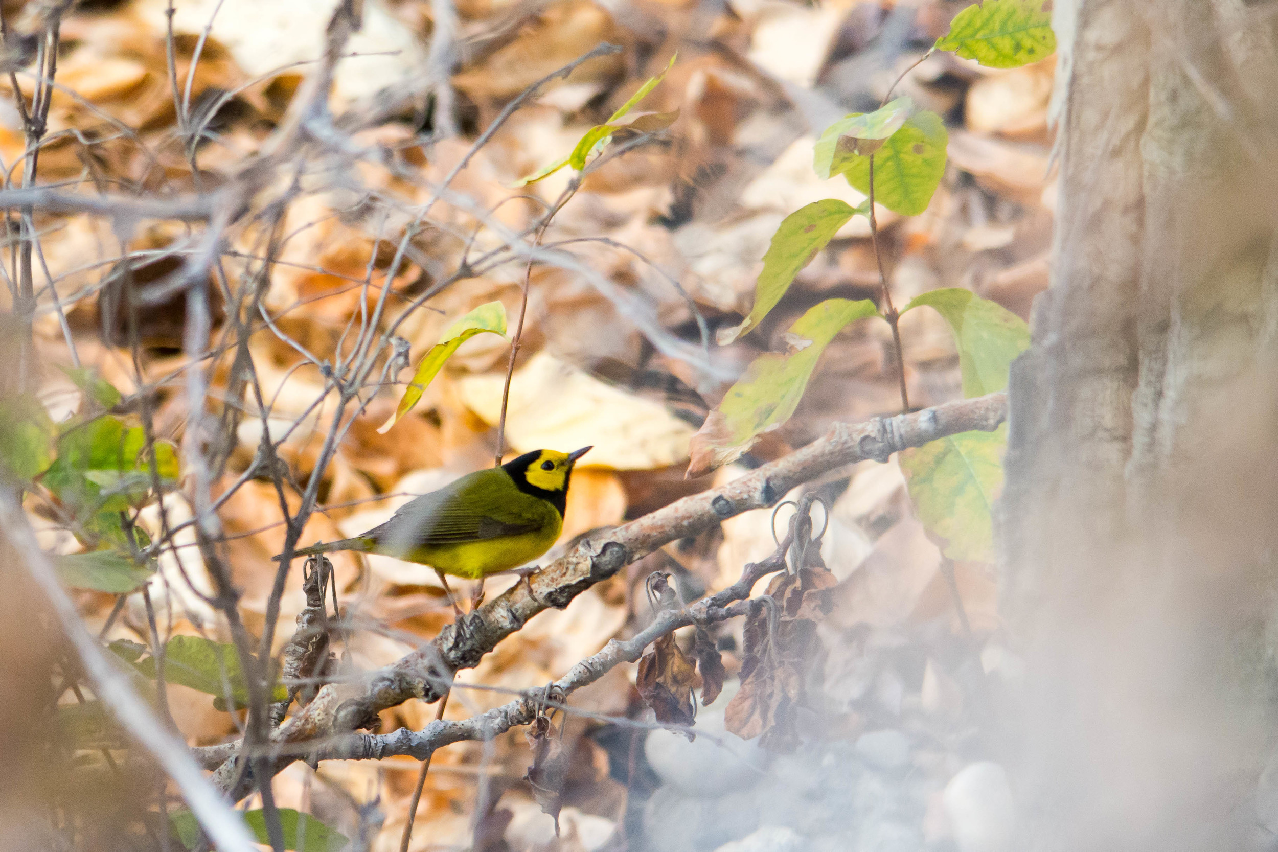 Lost Warbler
