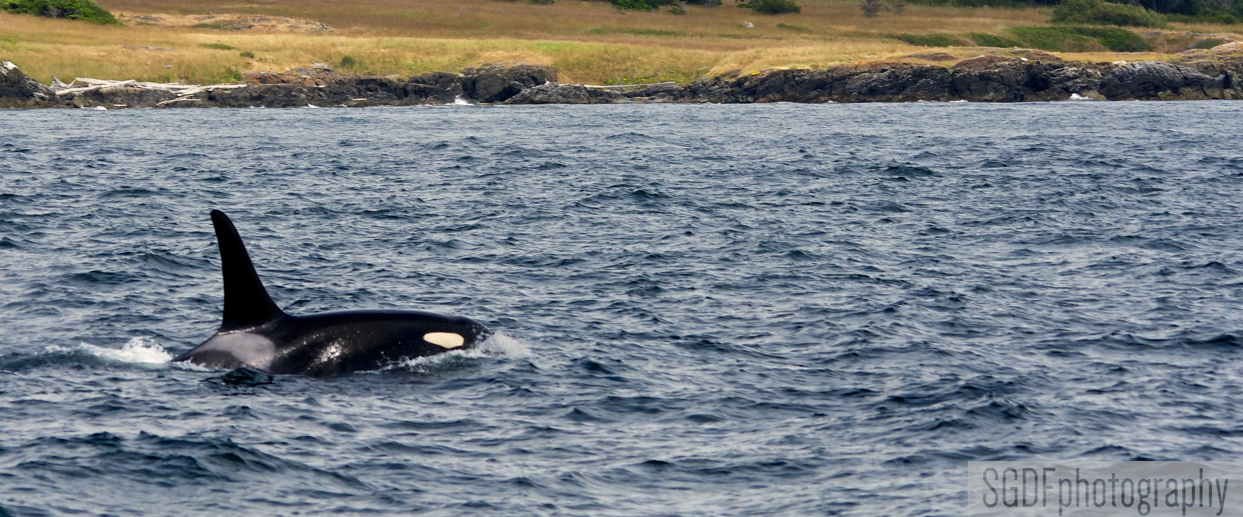 Another Male Orca (W).jpg