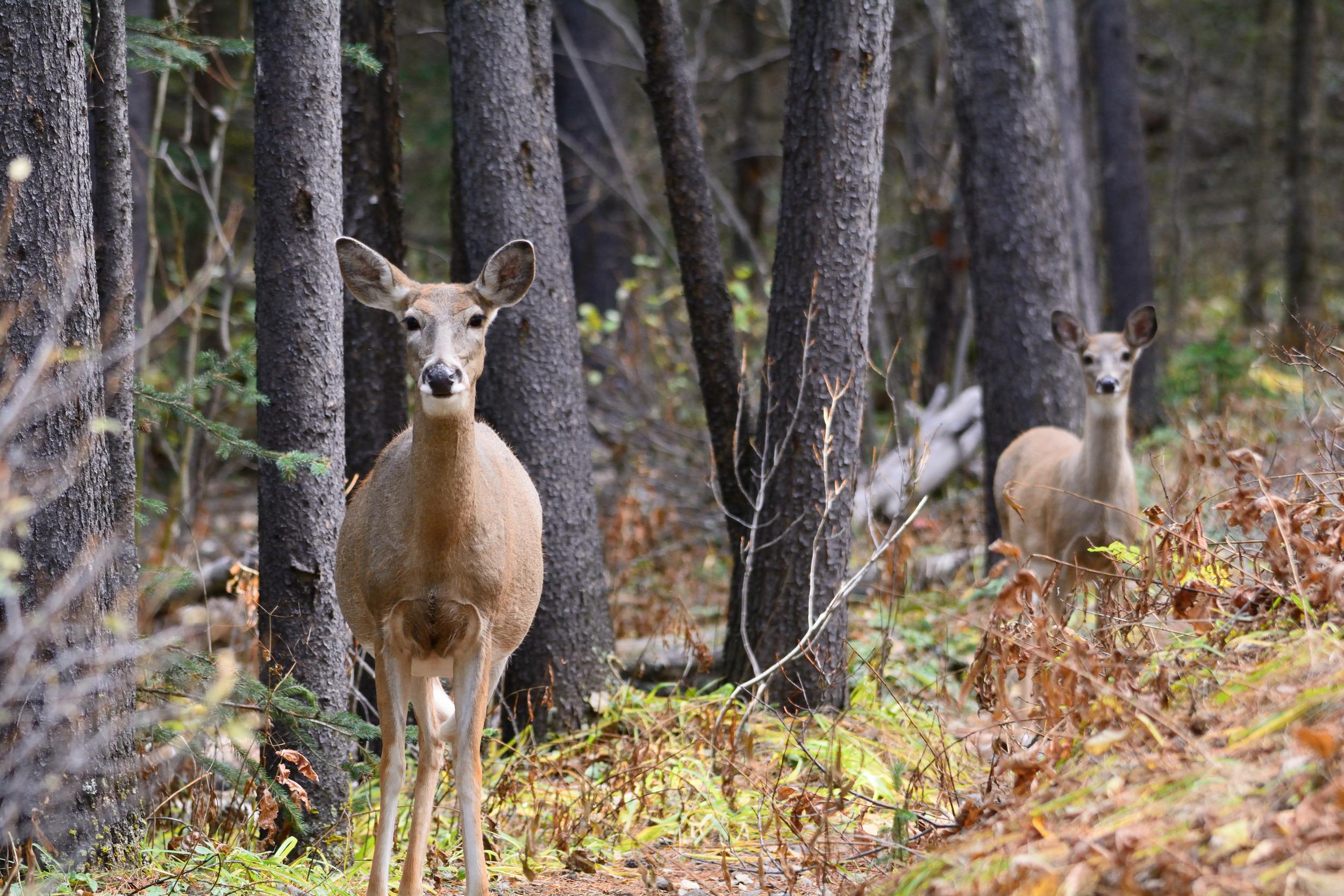 Deer on the Path.jpg