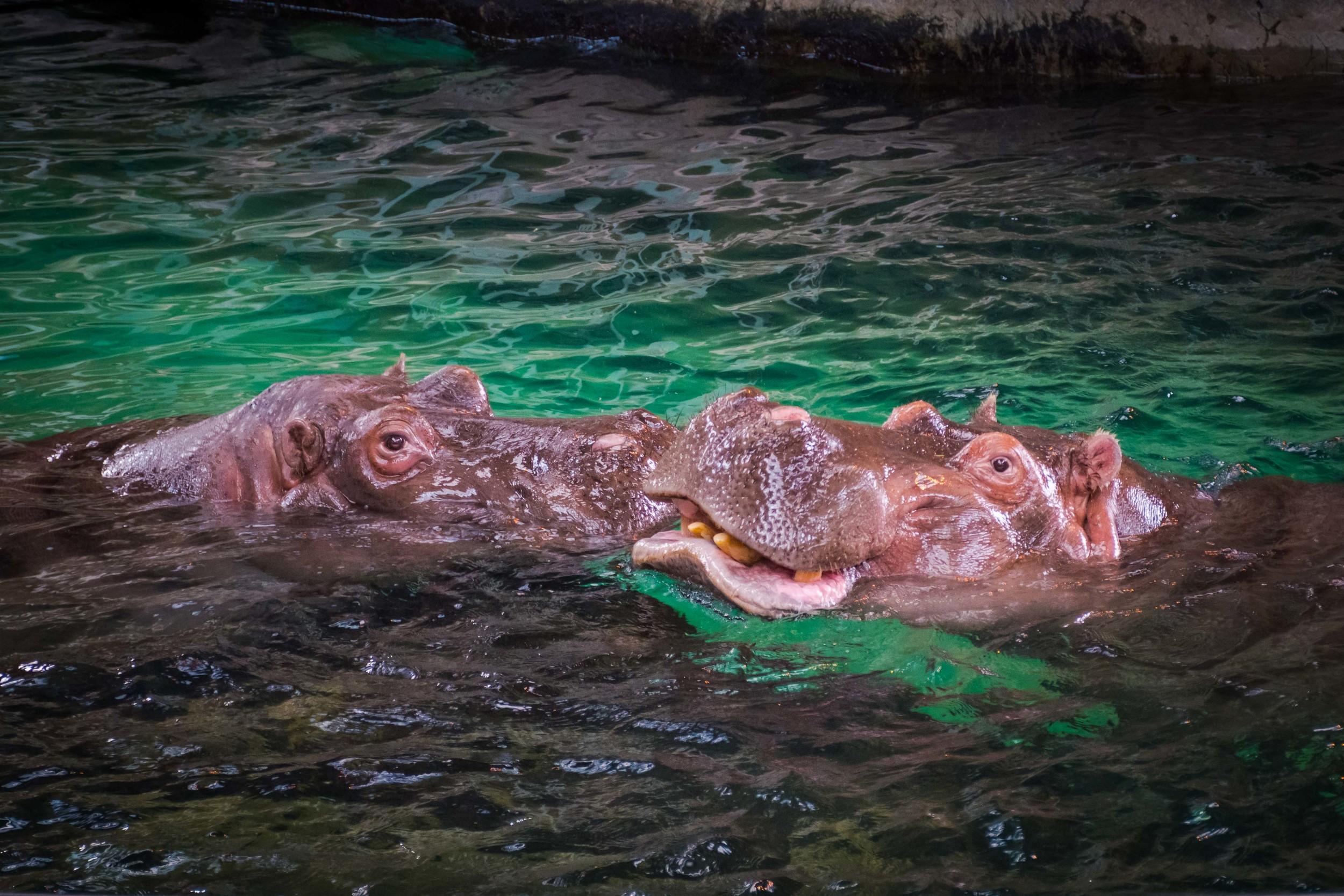 Hippo Smootch