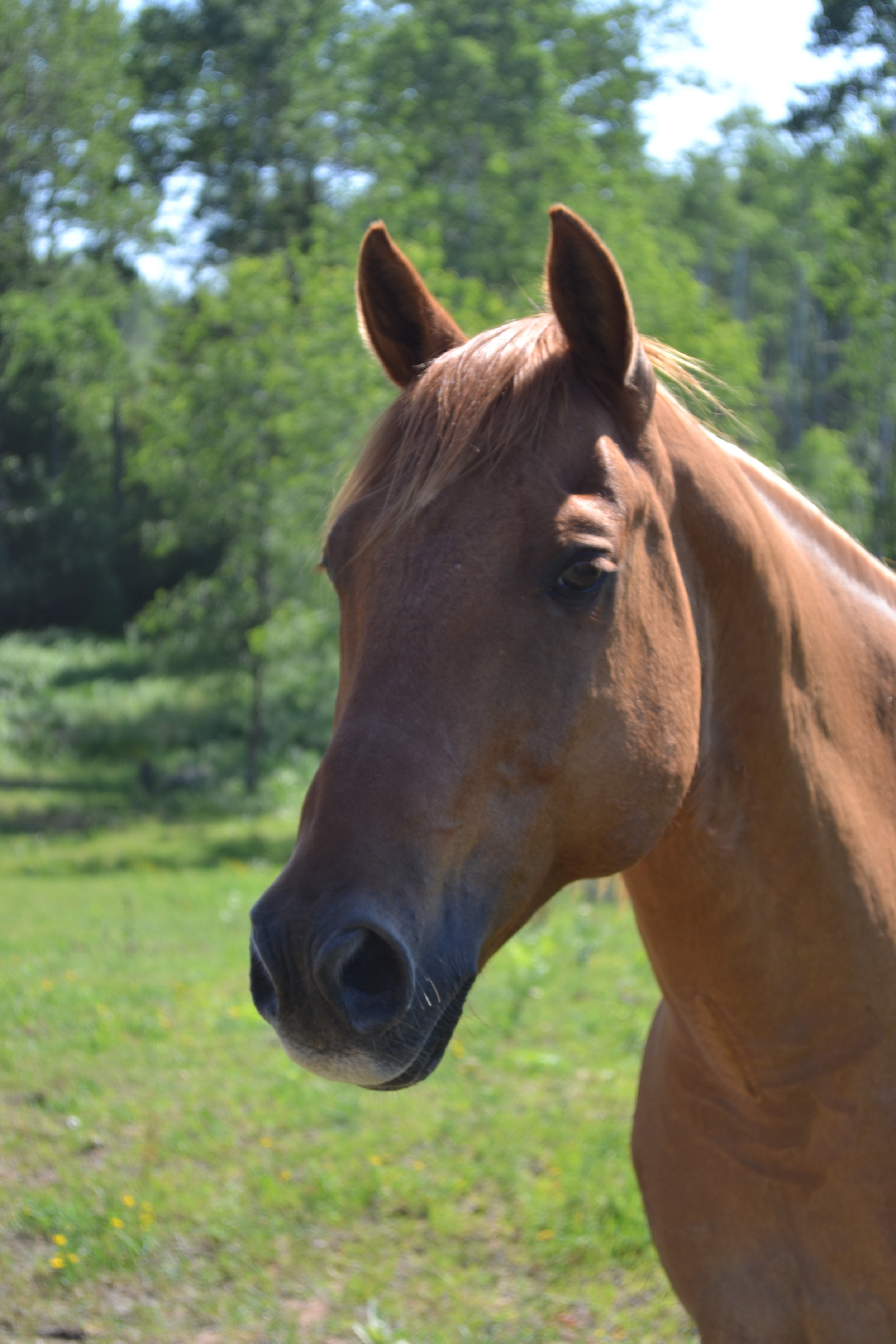 MAJIK  DOB: 1997            Color: Red Dun         Breed: Quarter Horse