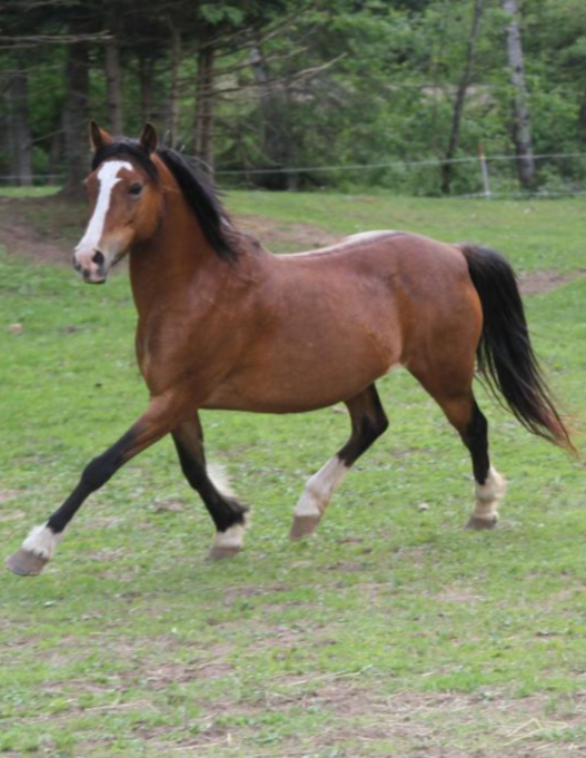 PEACHES  DOB: 2001                         Color: Bay                           Breed: Welsh Cob