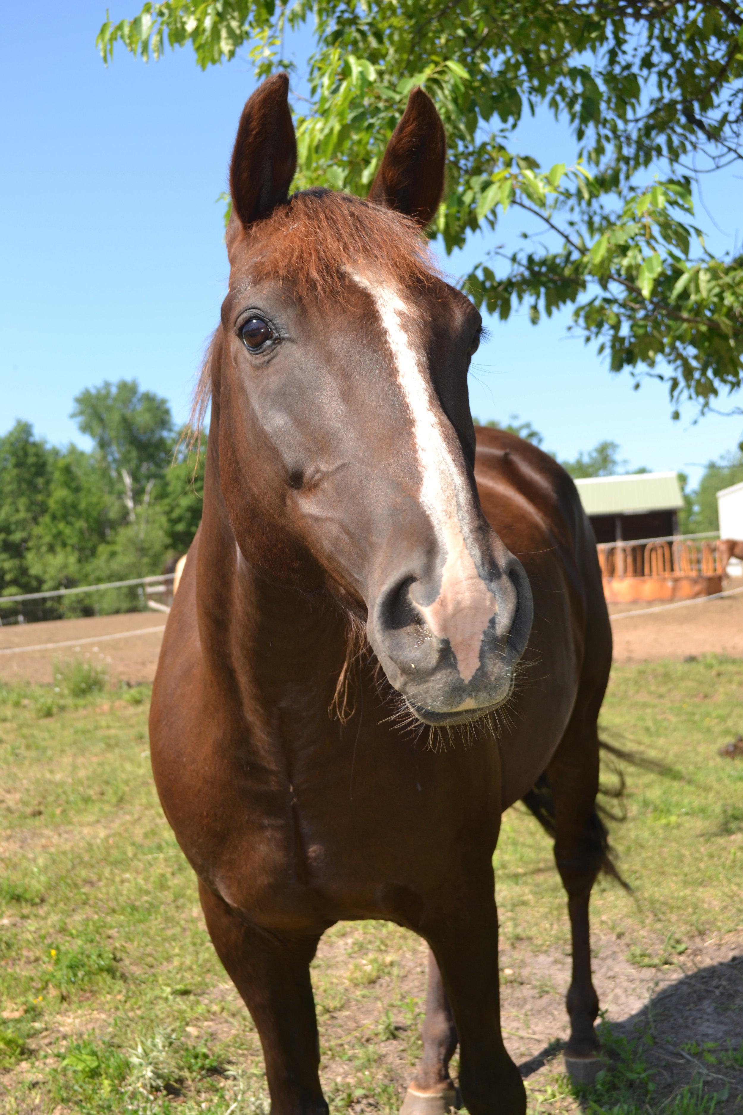SQUIRT  DOB: 2003             Color: Chestnut         Breed: Quarter Horse/Morgan