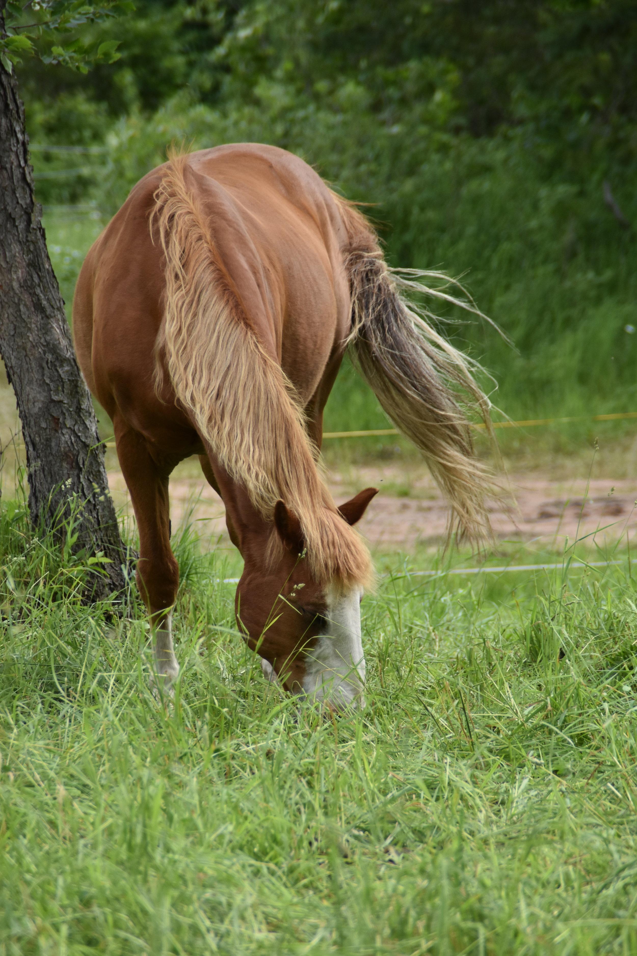 CHESTER  DOB: 2001            Color: Chestnut         Breed: Quarter Pony