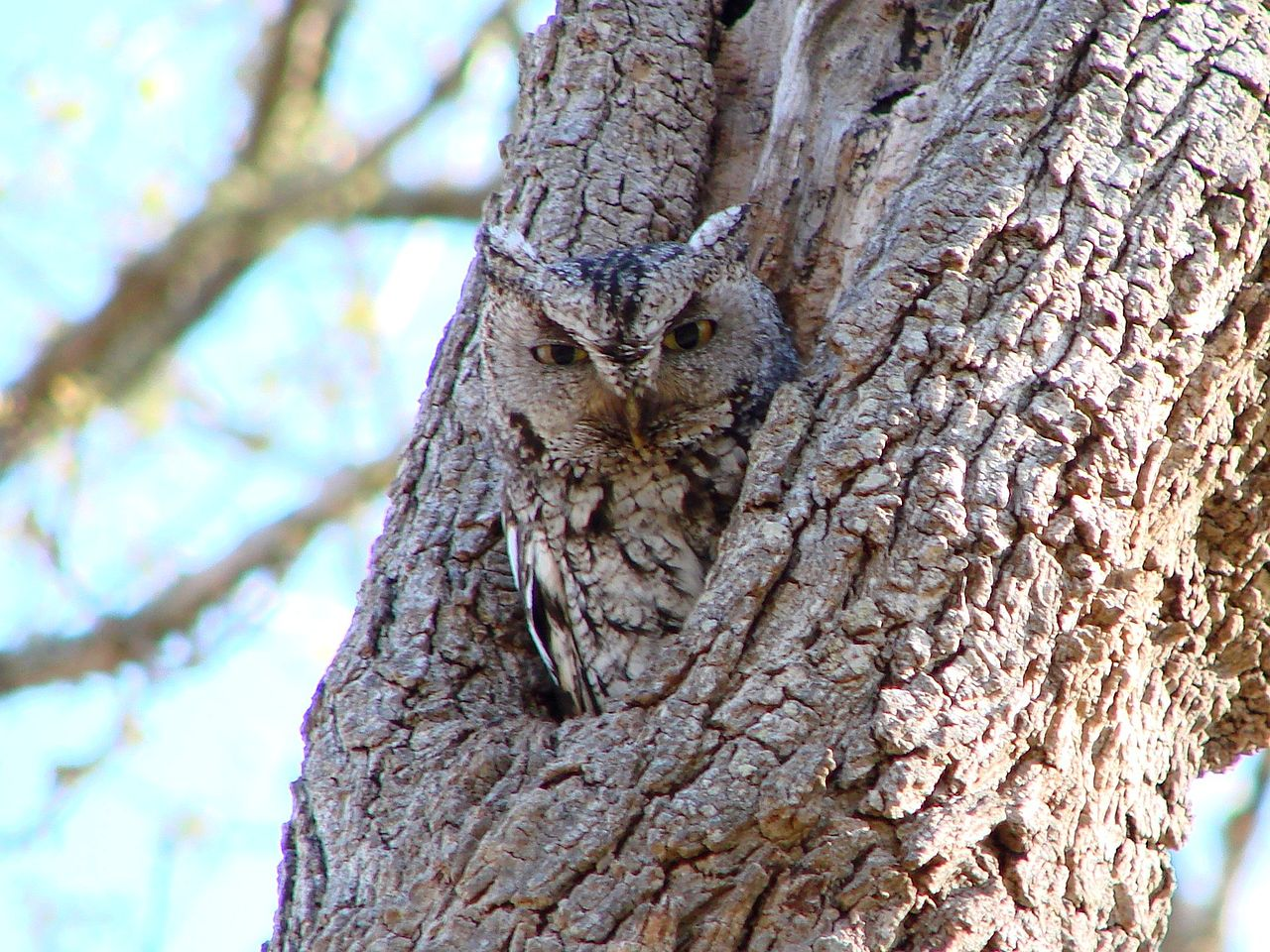 Eastern Screech Owl, Grey Morph (Megascops asio)