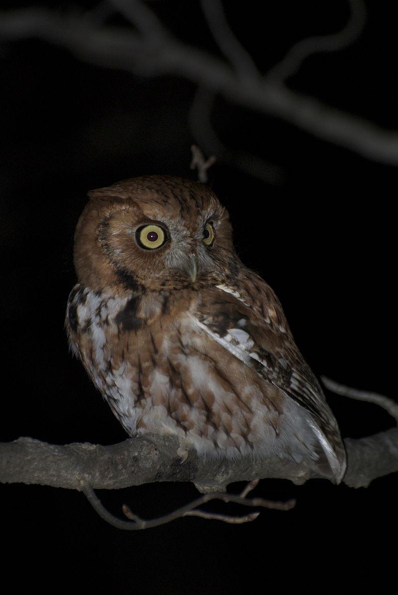 Eastern Screech Owl, Red Morph (Megascops asio)