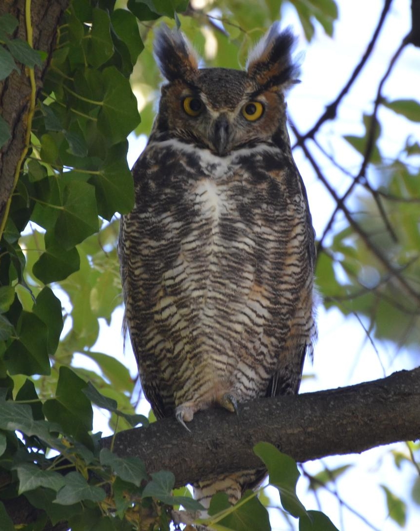 By Andy Reago & Chrissy McClarren (Great Horned Owl) [ CC BY 2.0 ], via  Wikimedia Commons