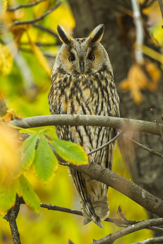 By Francesco Veronesi from Italy (Long-eared Owl - Kisjuszallas - Hungary_S4E0920) [ CC BY-SA 2.0 ], via  Wikimedia Commons