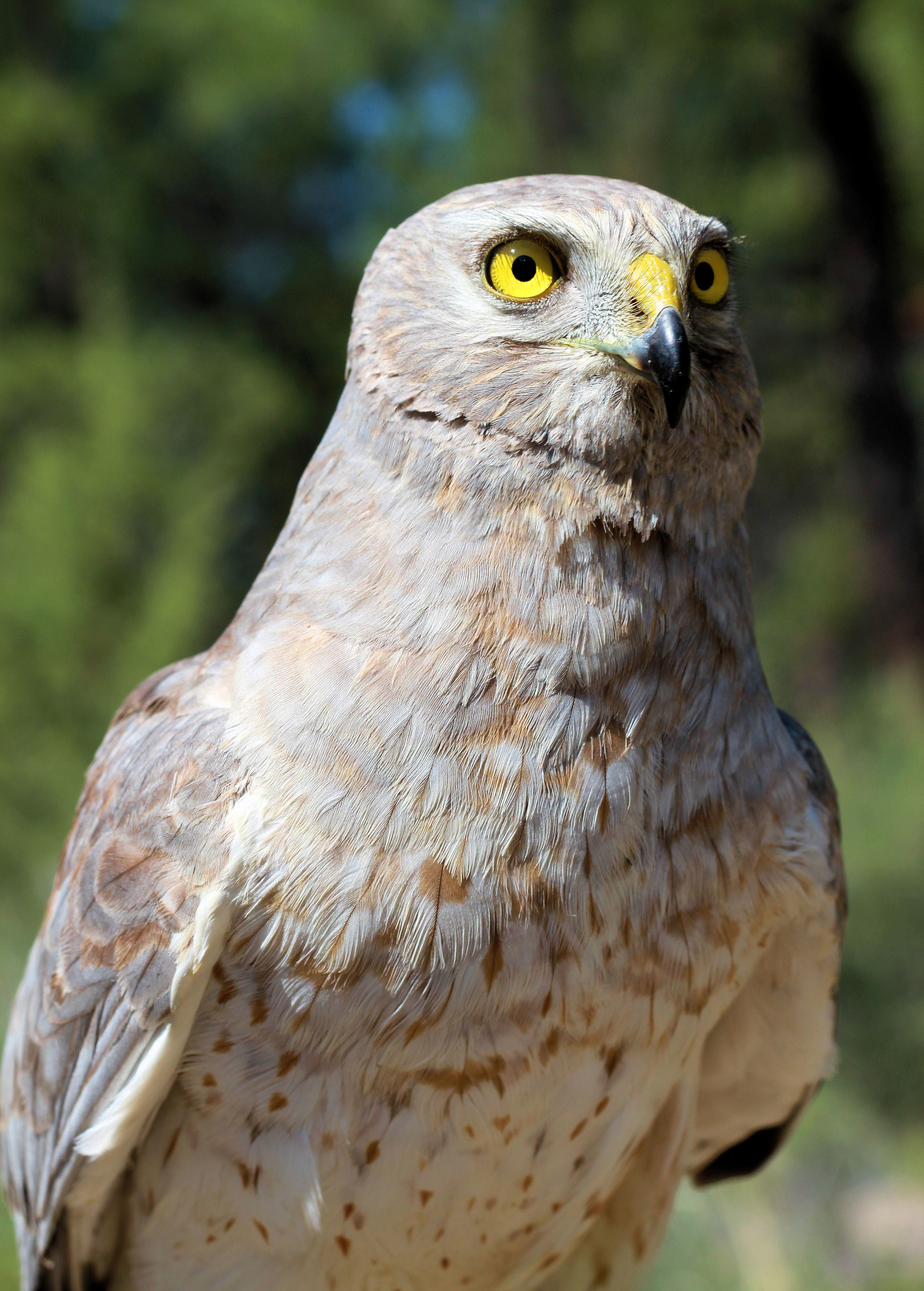 Male Northern Harrier - By Jon Nelson from Bend, Oregon, USA (Male Northern Harrier) [ CC BY 2.0 ], via  Wikimedia Commons