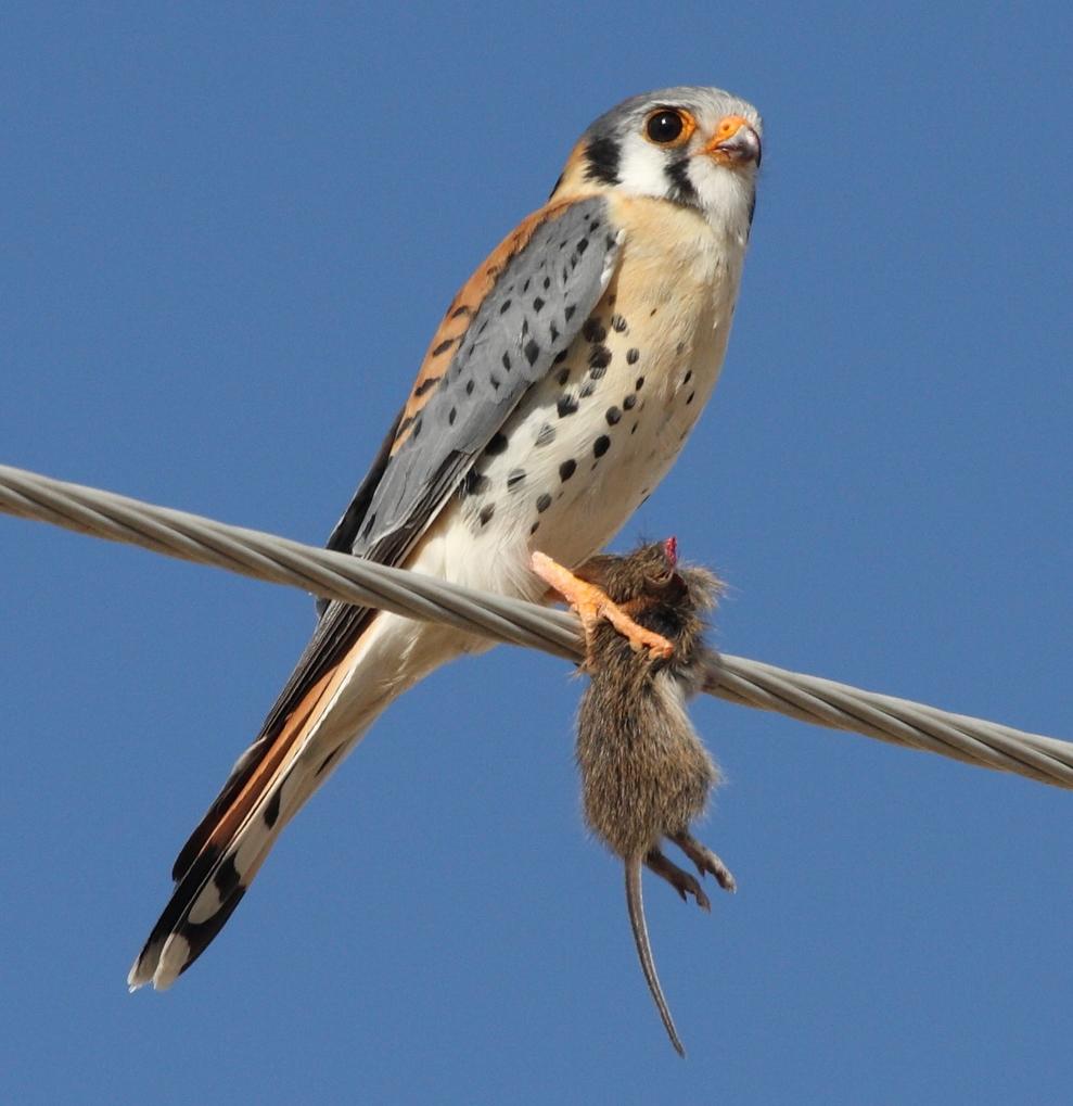 By Dominic Sherony (American Kestrel (Falco sparverius)) [ CC BY-SA 2.0 ], via  Wikimedia Commons