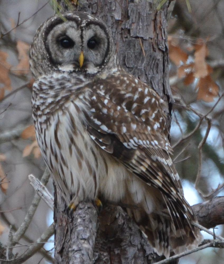 By Andy Reago & Chrissy McClarren (Barred Owl) [ CC BY 2.0 ], via Wikimedia Commons