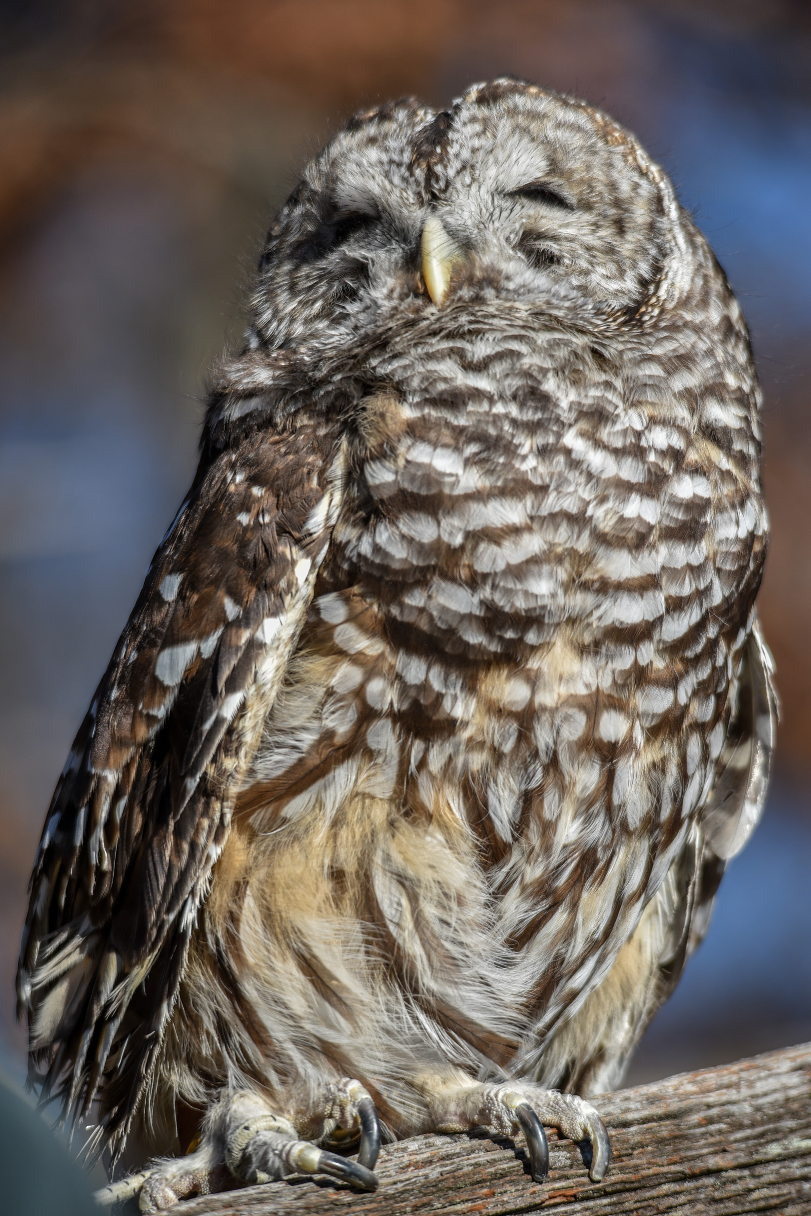 Barred Owl - by Bill Bowman, 2015 RCV Photo Shoot at Nature Visions