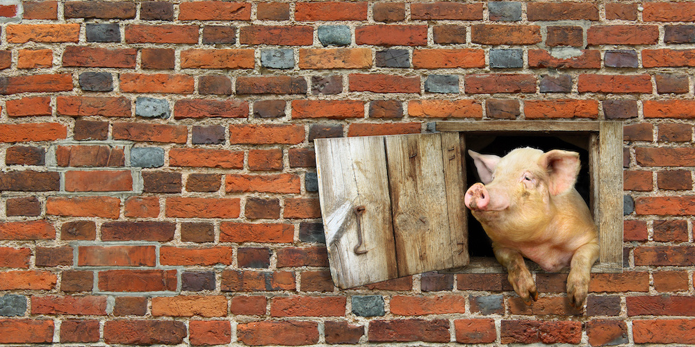Pig_1000.jpeg