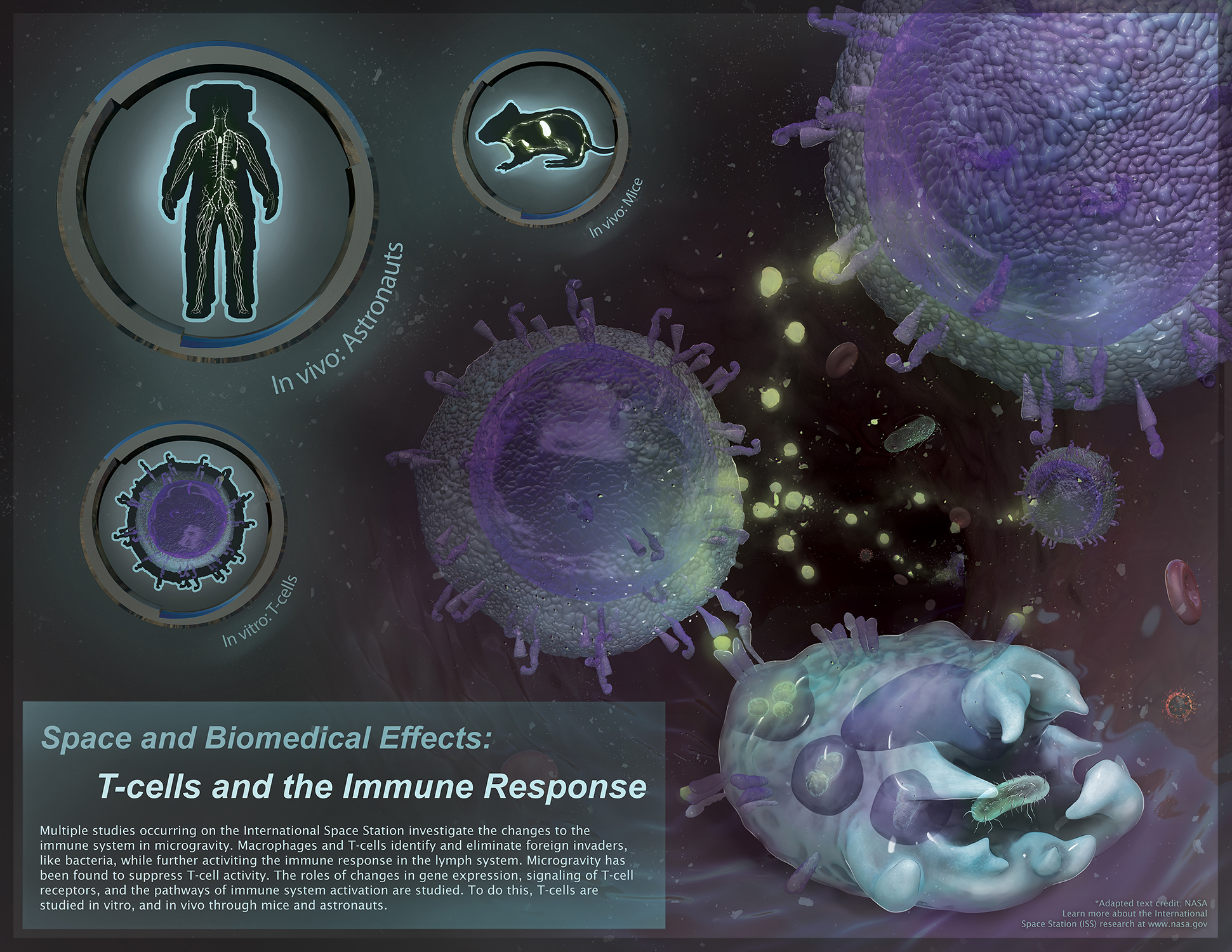 Space and Biomedical Effects: T-cells