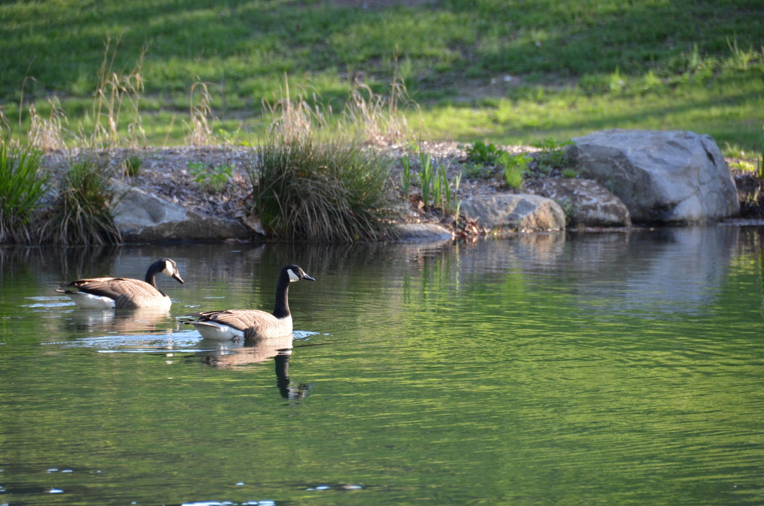 Pondworks_geese_pond.JPG