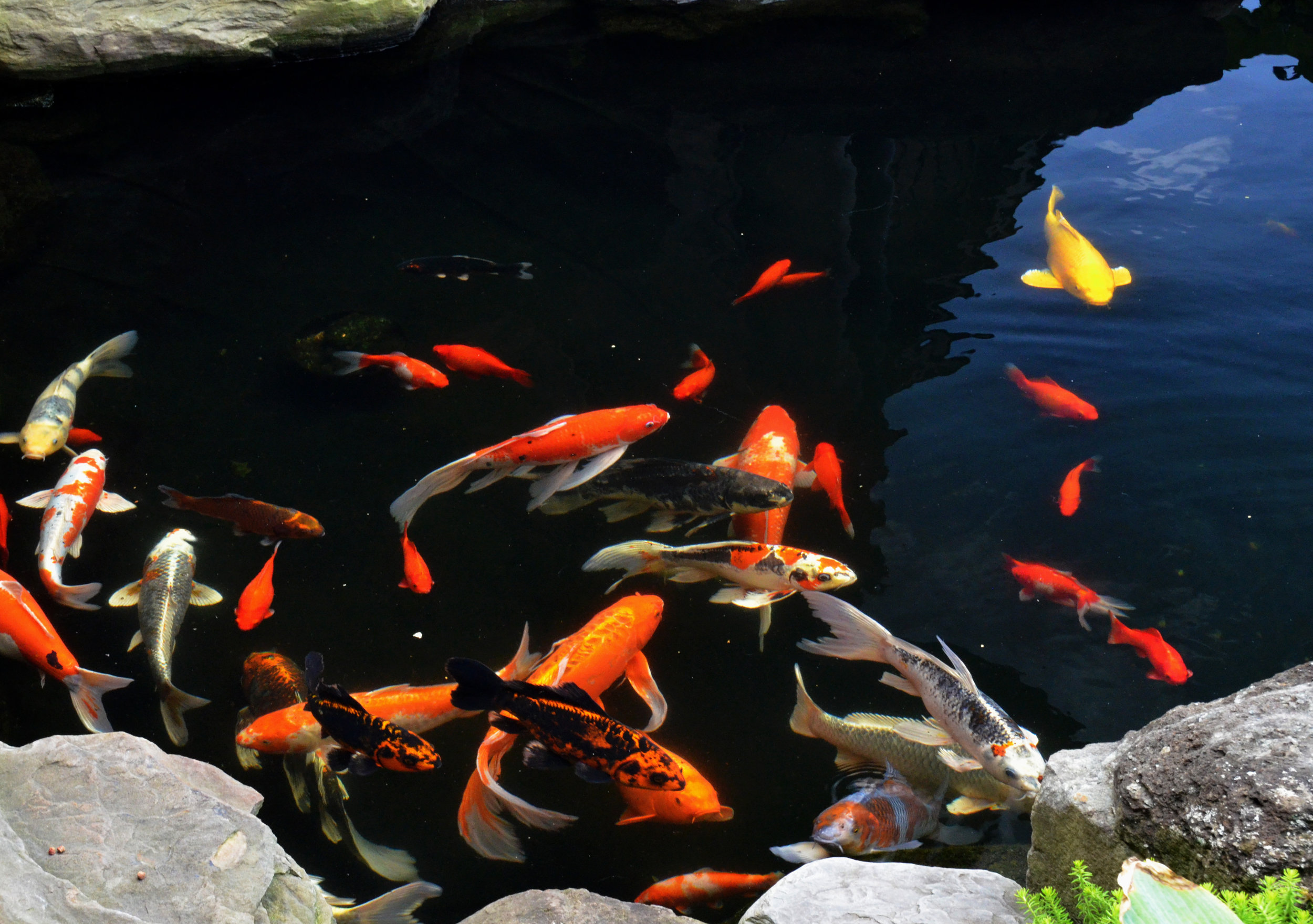 Pondworks_koi pond_koi_fish.jpg