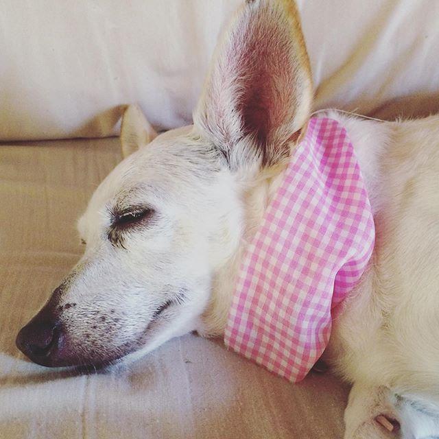 Sleeping beauty 💖#dog #doglover #chihuahua #chihuahualove #chihuahuacorgi #wooflove #woofloveblog