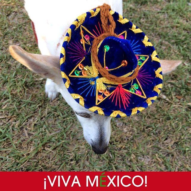 S#My chihuahua with her charro hat #chihuahua #chihuahualove #mexico #charro #sombrerocharro #wooflove #woofloveblog