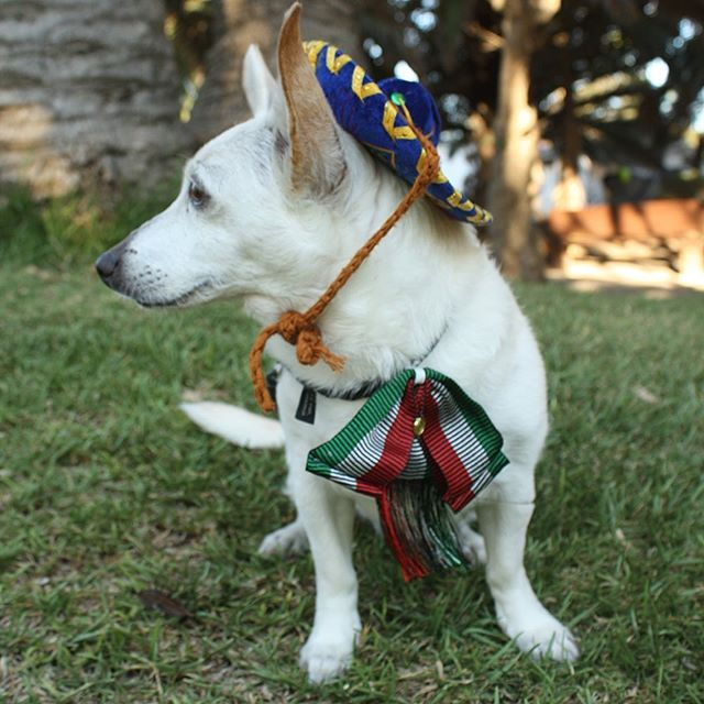 Sophie wearing her charro hat and a colorful tie with the Mexican flag colors. Thus was for the Mexican independence day celebration on Sept. 15. #chihuahua #chihuahualove #mexico #dog #doglover #wooflove #woofloveblog