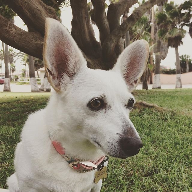 Those ears... I love those ears 💖#dog #doglover #chihuahua #chihuahualove #wooflove #woofloveblog