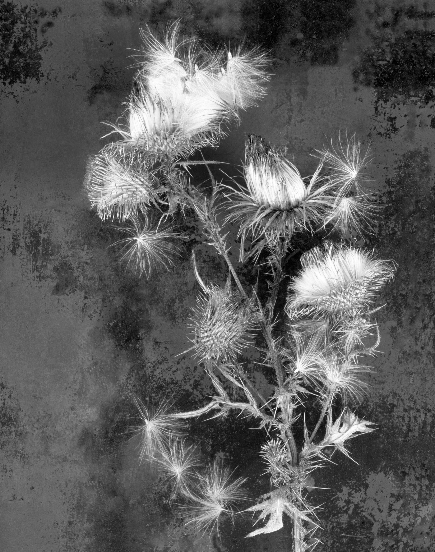Marlowe_Thistle in Bloom.jpg