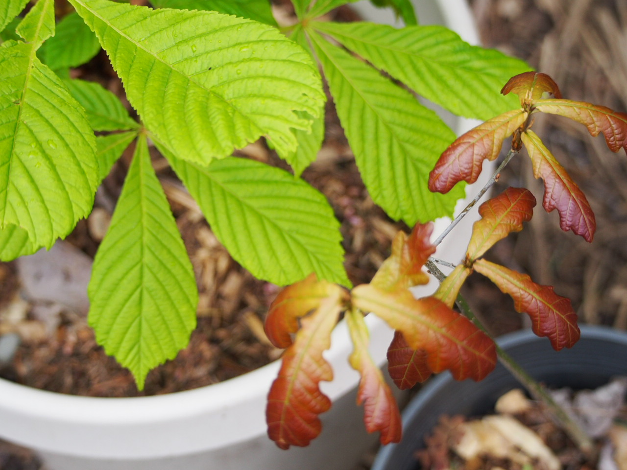 A Horse chestnut and oak rescued last year and awaiting a new home.