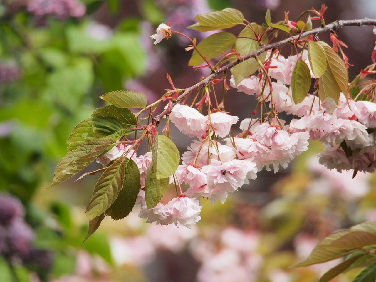 Cherry blossom on 18th Ave NE, Seattle, WA in 2017.