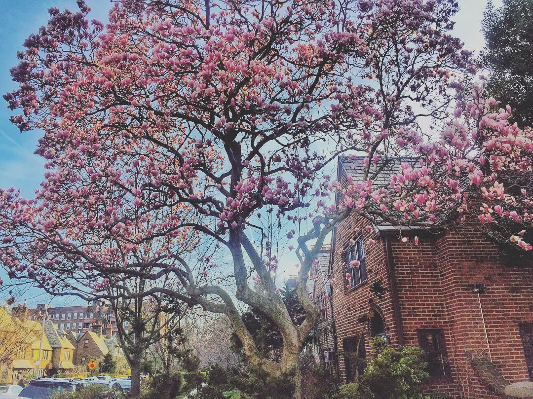 I love when the magnolias bloom!                #foresthillsqueens #foresthills #queensnyc #queens #latergram #queenslove #queenscapes #foresthillsny #heartofqueens  (at 75th Avenue)