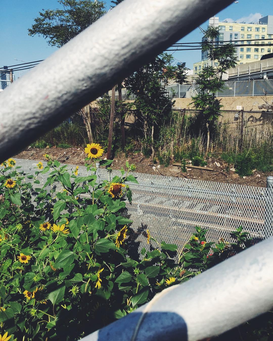 Sunflowers in Long Island City