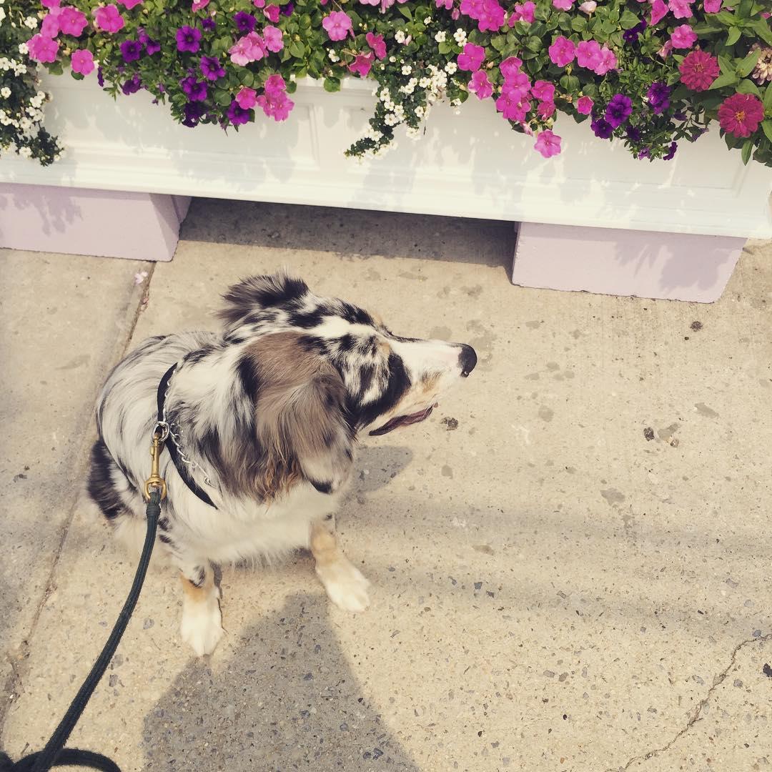 Finley waiting patiently for @lizzygilly23 at @lanasloft in #Rockaway      #shoplocal #shopqueens #heartofqueens #queensnyc #rockawaybeach #rbny (at Lana's Loft)