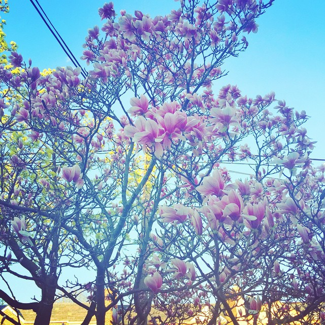 The magnolias are blooming in #middlevillage #happyspring #queens #queenscapes #homebase (at Middle Village, Queens)