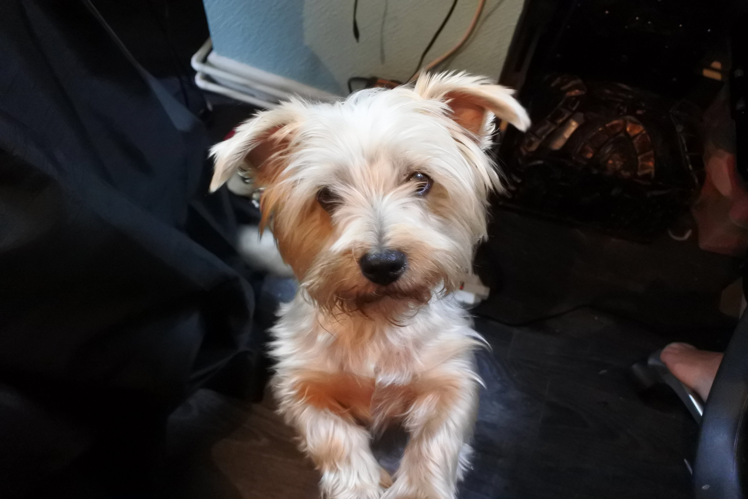 Meet Barney. Adelaide and Wilma's beloved dog who loves to help out in the sewing home. He wishes he was a West Highland Terrier and could wear tartan.