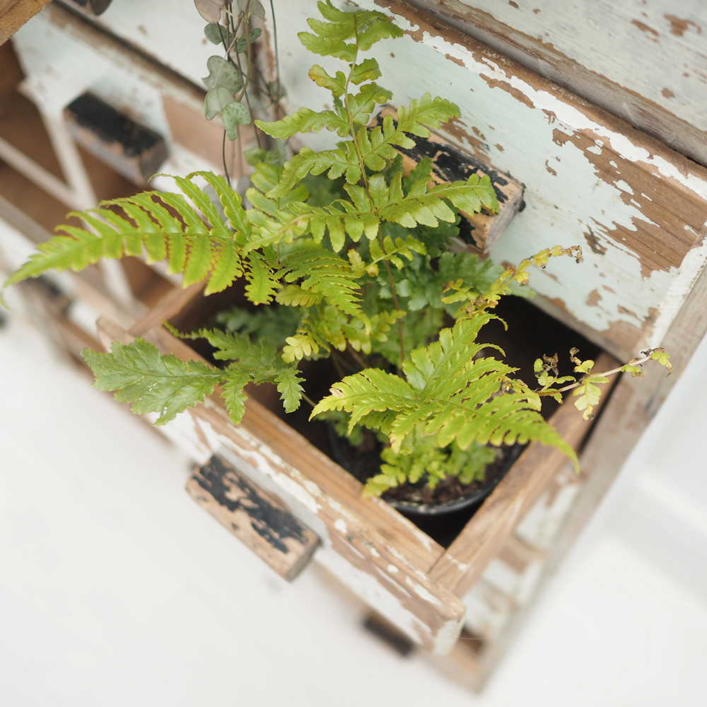 fern in a vintage drawer