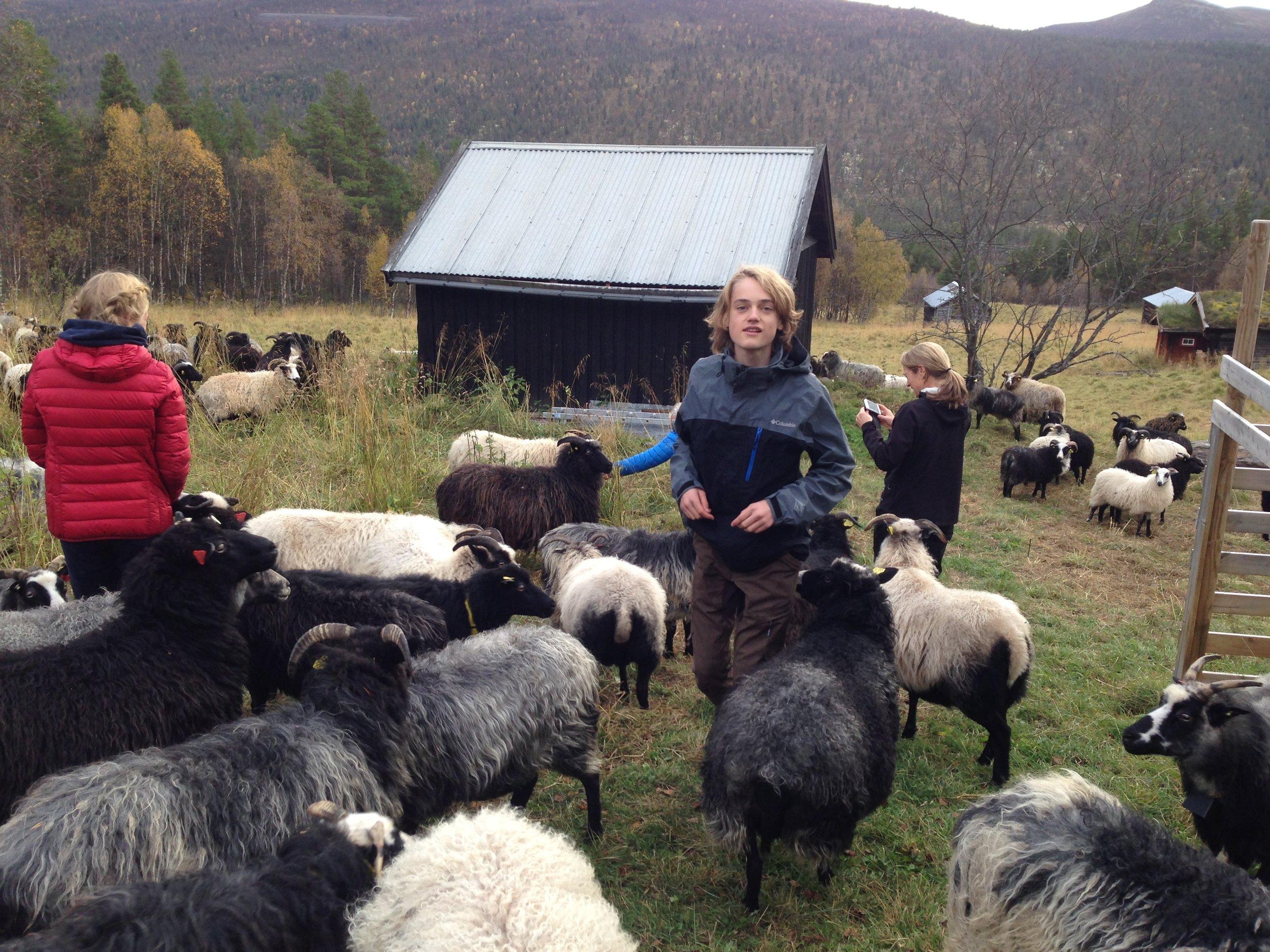 Godt å få sauene tilbake på Perslåa i slutten av september. Her hjelper familien til.