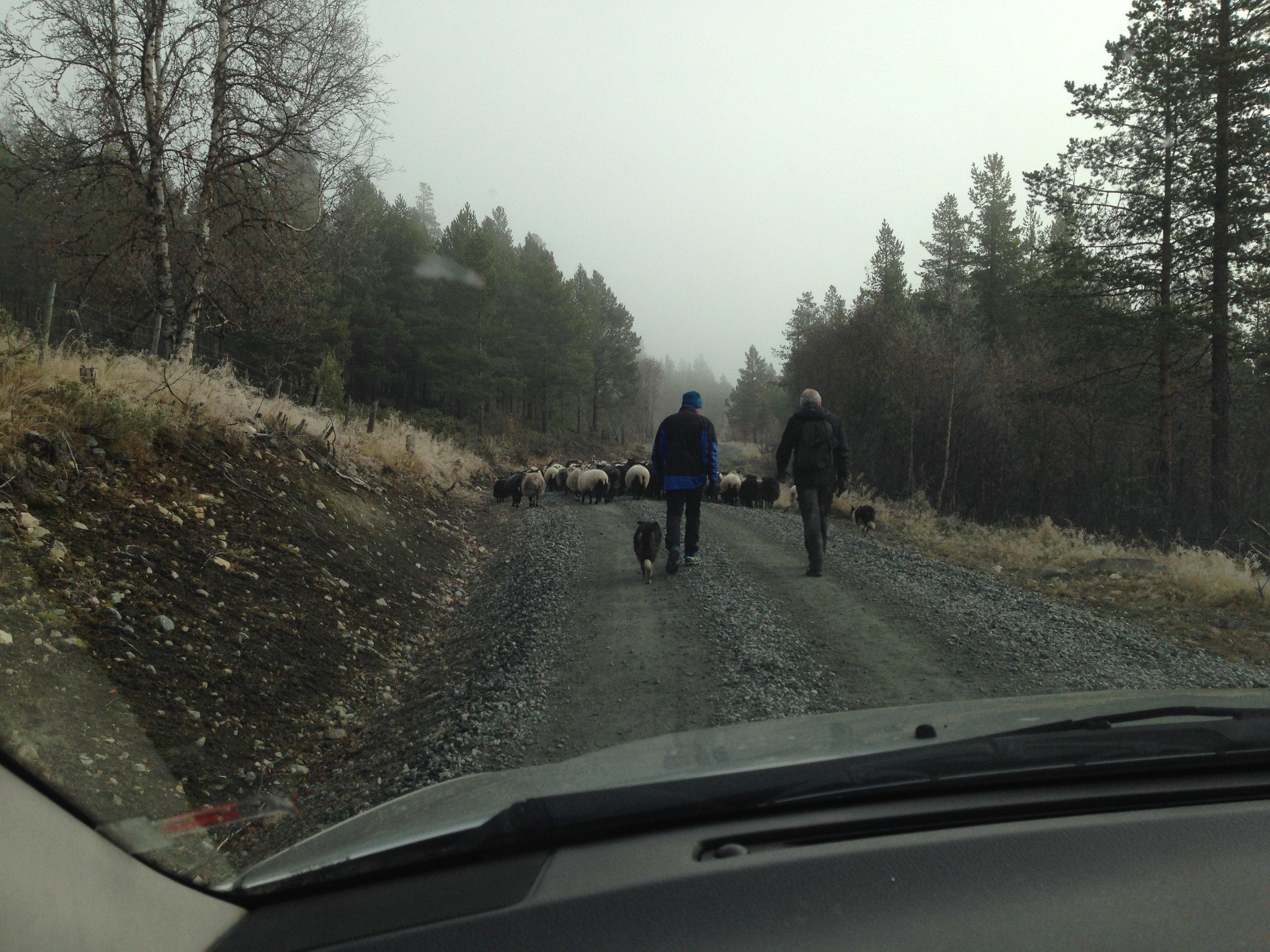 Og så er det på tur hjem til Lykkja etter noen flotte måneder i fjellet.
