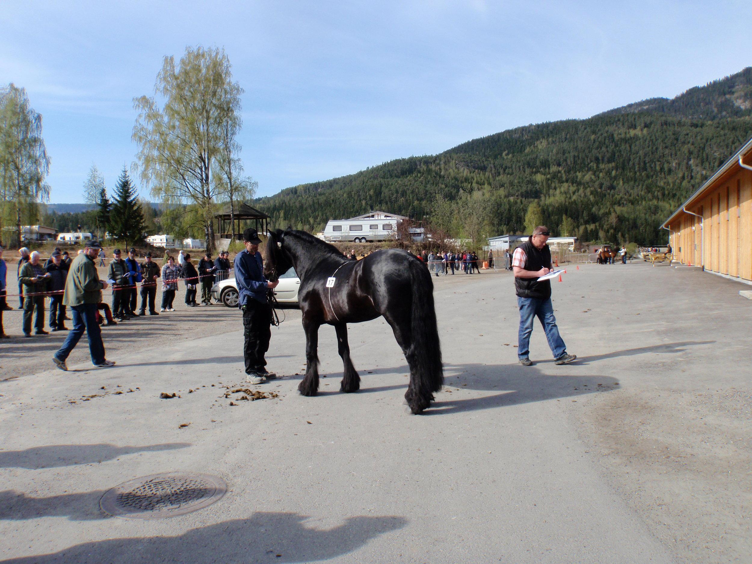2011: Haugajo 2. premie, kåret på Stav. Valgt ut til å gå i Bristol, Sikkilsdalen med hoppefølge.
