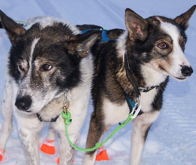 Et tett og godt samarbeide er helt nødvendig for vellykket gjennomføring av et krevende hundeløp som Gausdal Marathon er.