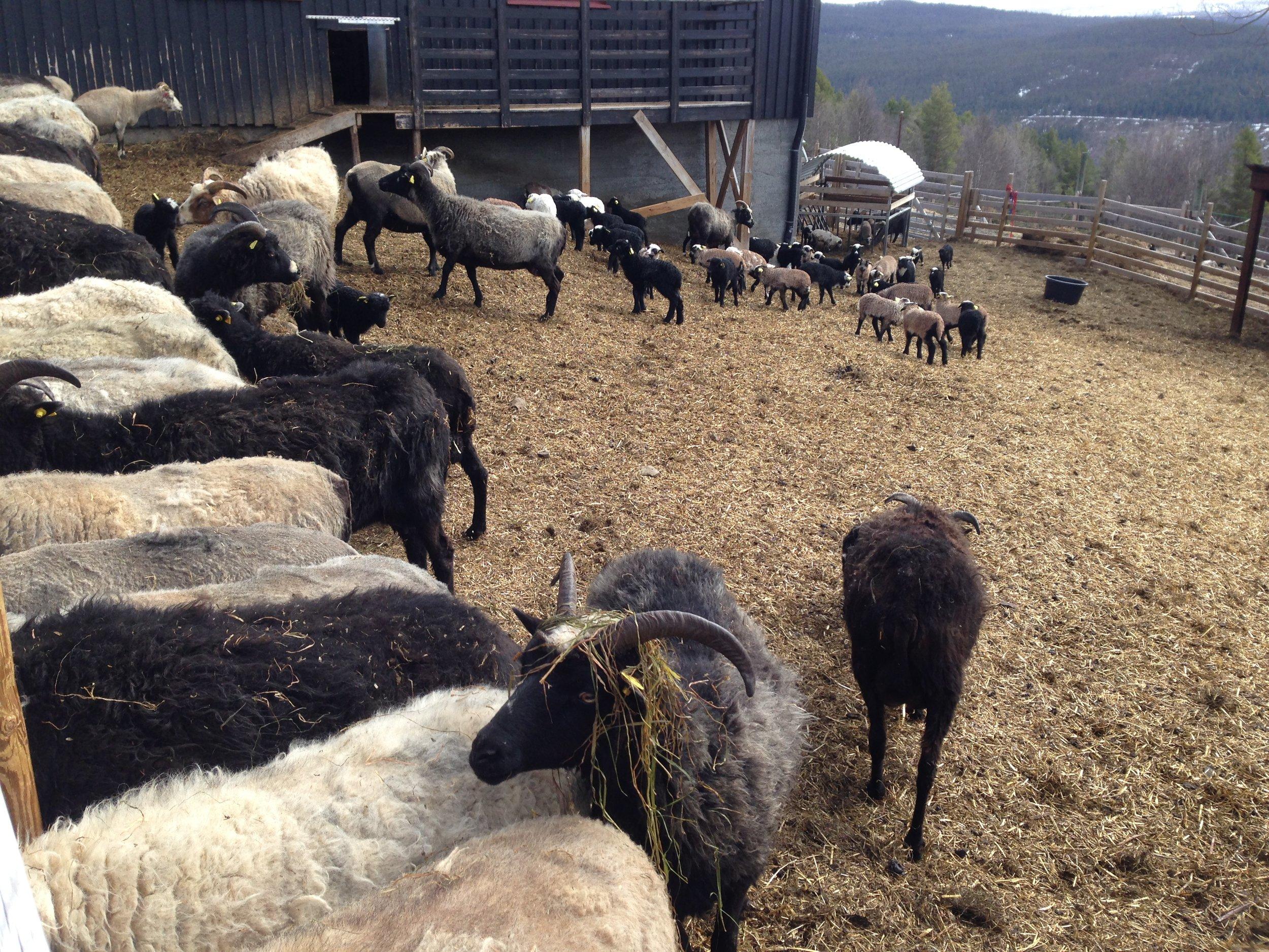 Lammene koser seg mens søyene tar en matpause.