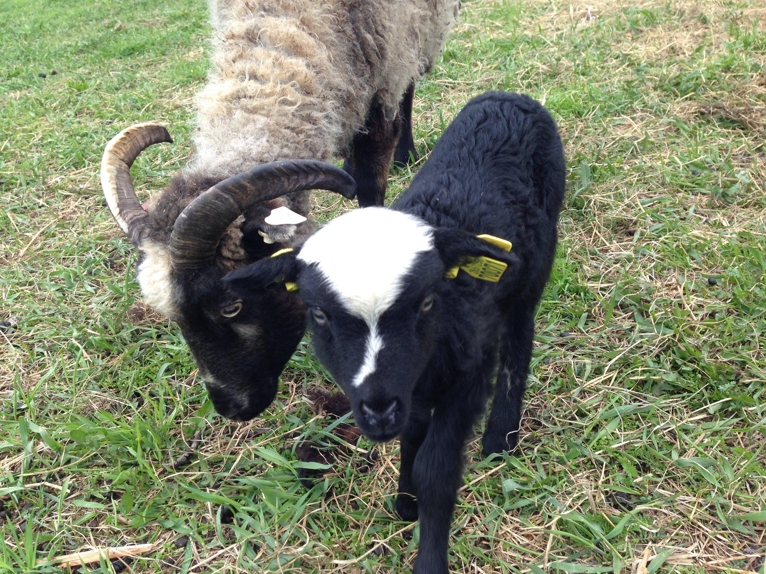 2017: Selma var sist ute i år også. Hun passer på sitt nydelige lam som en smed.