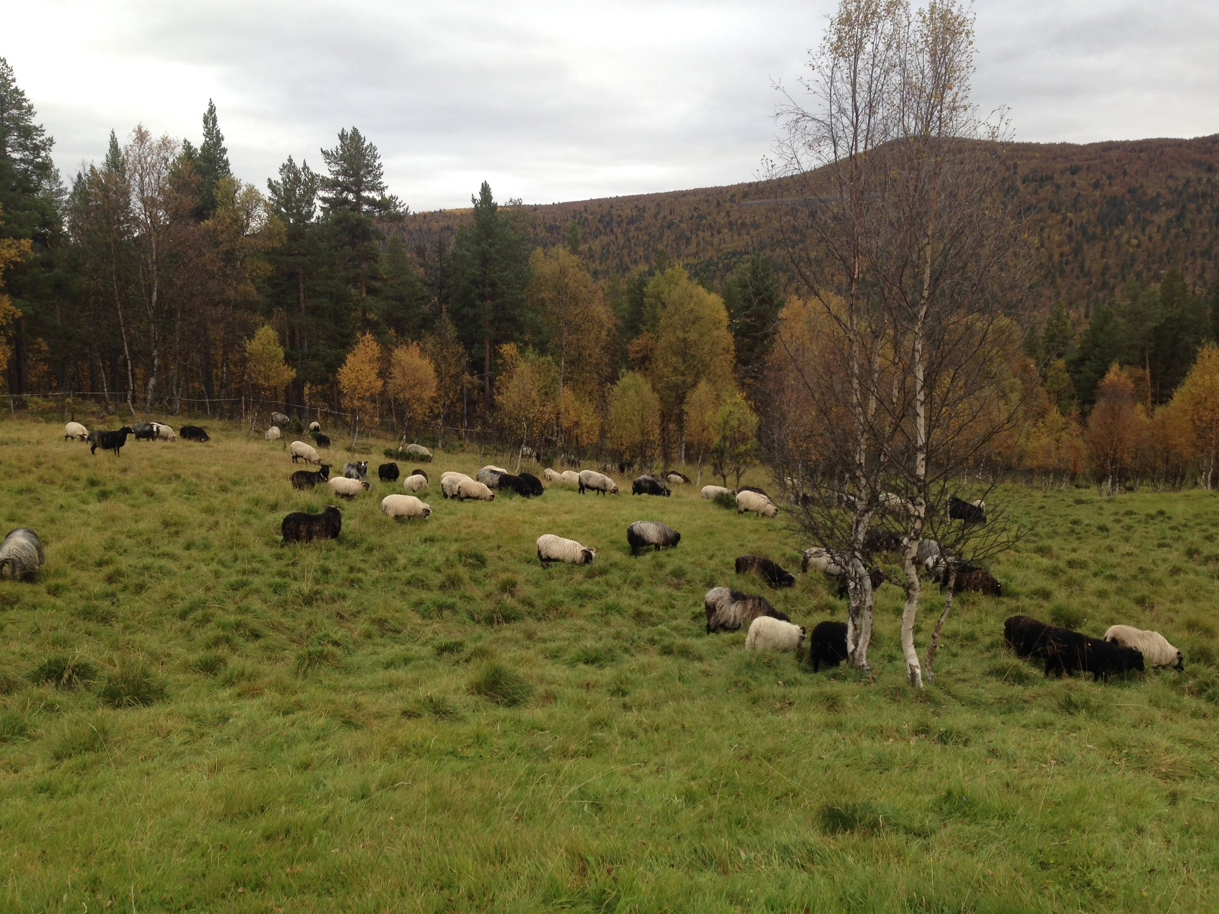 16. september er flokken igjen samlet på Perslåa, hvor de kan kose seg et par uker før de skal tilbake til gården.